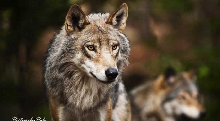 Obecność wilków w powiecie puckim